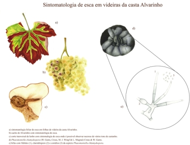 Esca symptoms on grape variety Alvarinho.
