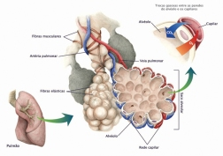 Internal structure of the respiratory bronchiole and alveolar cells.
